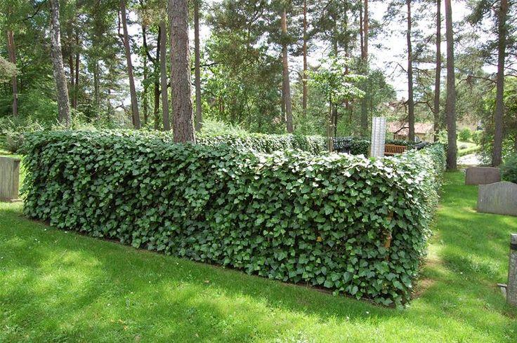 Murgröna på växtskärm