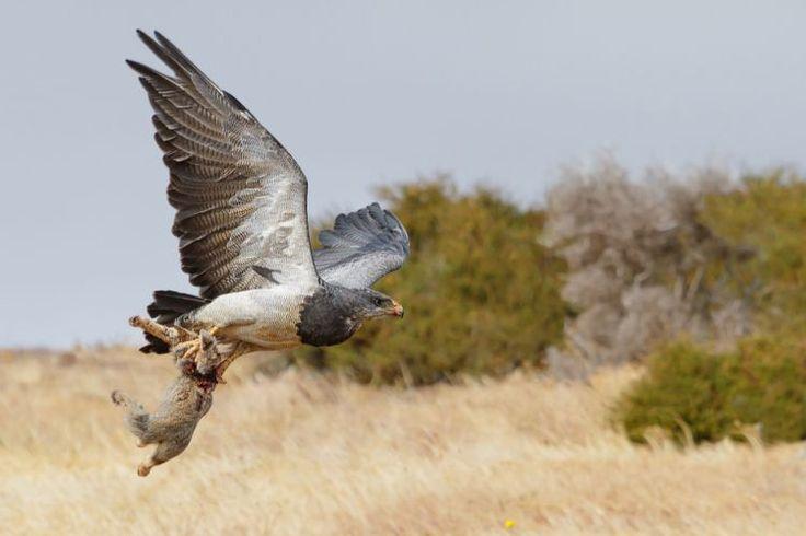 Fotografía obtenida en Patagonia chilena cerca de Puerto Natales, corresponde a una águila Mora llevando a un zorro recién capturado como su alimento. (Sergio Ujevic)