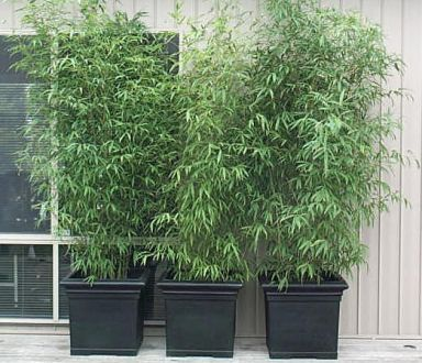 Three bamboo plants in pots