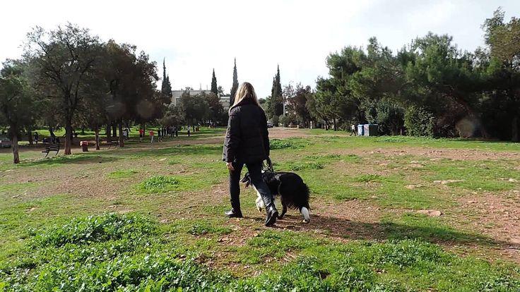 Εκπαίδευση σκύλου Μπόρντερ Κόλεϊ Alphadogs http://www.alphadogs.gr/ #Εκπαίδευση_σκύλου