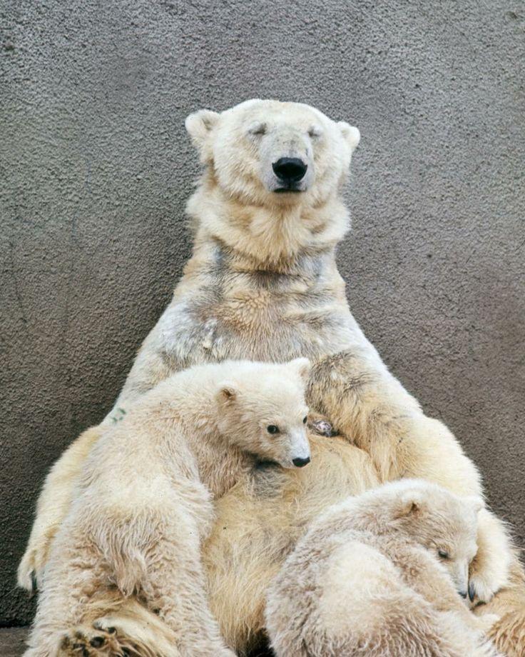 X Five Polar Bear Polar bears   Polar Be...