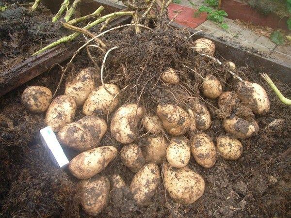 Картофель на маленьком участке
