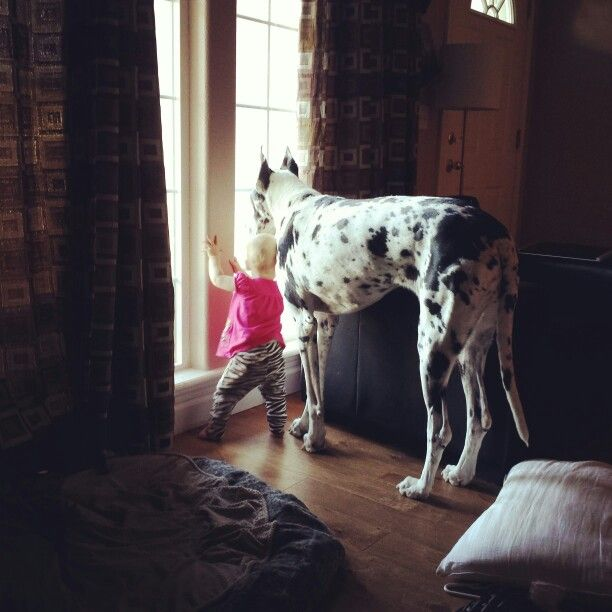 Great Dane and toddler love