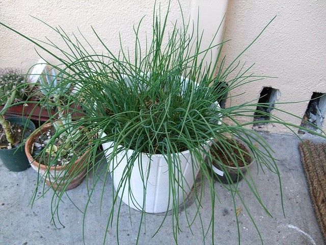 Growing chives indoors make perfect sense so that you may have them near the kitchen. Read this article to learn more about how to grow chives indoors so you can have easy access to the plant year round.