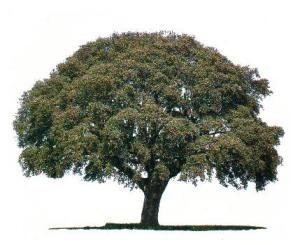 """La  Encina  su  nombre  científico  es  """"   Quercus  ilex  """"   y  el  nombre  de  quercus  provine  de  la  palabra  celta  """"  quercuez  """"  que  significa  árbol  hermoso. El  bosque  de  encinas  se  esparcia  por  todo  el  territorio  de  España,  por  eso  es  considerada  la  encina  como  el  árbol   típico  español.  Según  el  historiador  romano  Estrabón  en  sus  escritos  sobre  la  Península  Ibérica  decia :  """"   sus  habitantes,  durante  dos  tercios  del  año,  se…"""