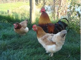 Maran chickens available for sale at Yummy Gardens Melbourne