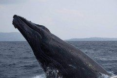 今年の3月の時沖縄でホエールウォッチングの時撮ったクジラです tags[沖縄県]