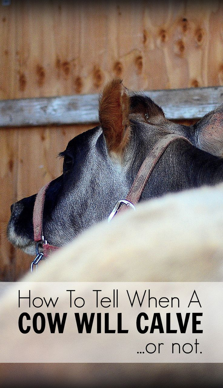 How to tell when a cow will calve... or not (experience from an inexperienced dairy woman) | The Elliott Homestead