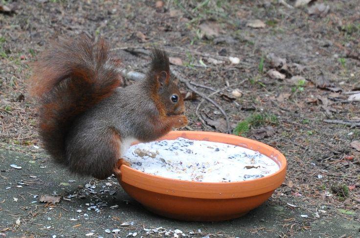 Eekhoorn - Squirrel ©gk24