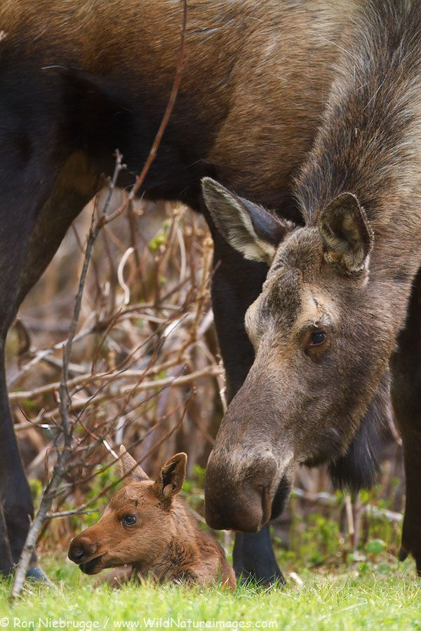 """The moose (North America) or Eurasian elk (Europe) (Alces alces) is the largest extant species in the deer family. Moose are distinguished by the palmate antlers of the males; other members of the family have antlers with a dendritic (""""twig-like"""") configuration. Moose are found in Canada, Alaska, Scandinavia and Russia  and do not form herds. Their mating season in the autumn can lead to spectacular fights between males competing for a female. female moose with calf, baby"""