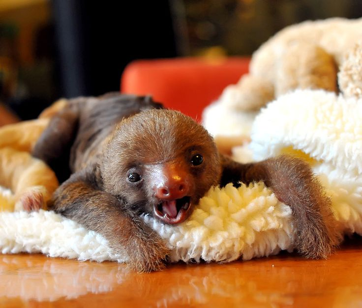 This is for Kris Strange.  A baby sloth to get you going this morning.  Is that an oxymoron?