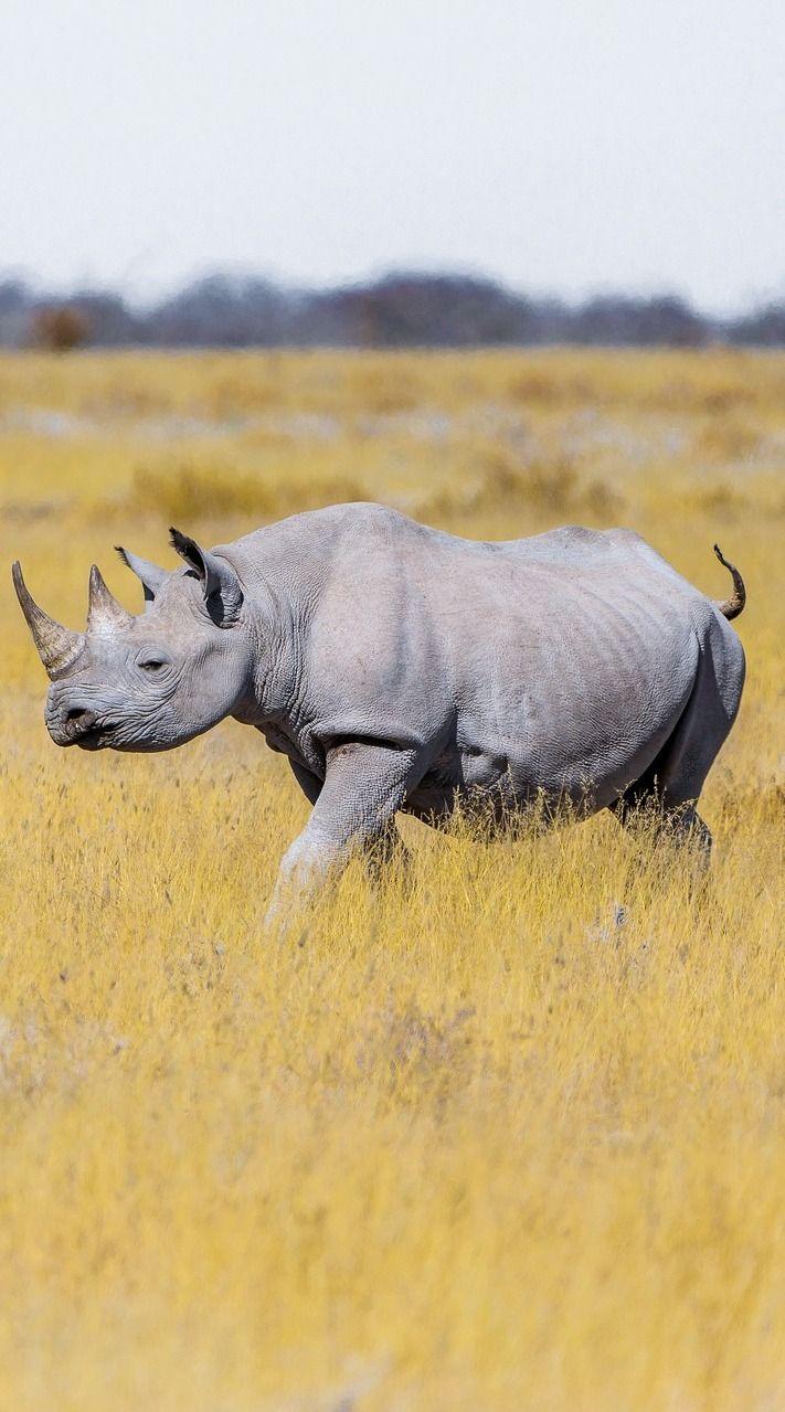 Rhino On The Savanna Grasslands Wild Safari Animals Animals