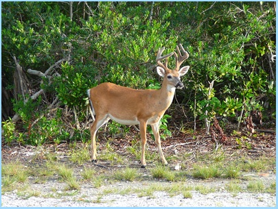 National Key Deer Refuge Big Pine Key - don't miss wandering down the streets of Big Pine Key and looking for the little key deer