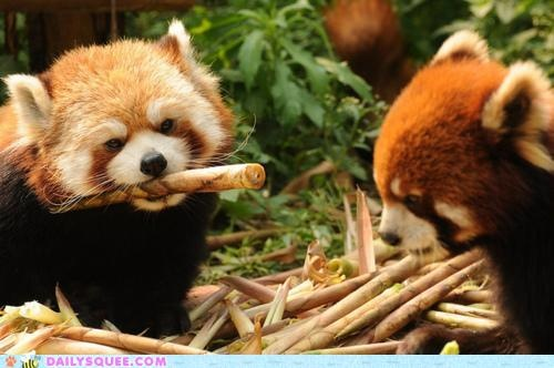 a pile of sticks and 2 (TWO!) Red Pandas!