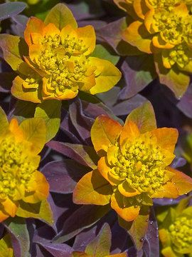 Euphorbia 'Bonfire' | — great dark purple. blooms 3 seasons.