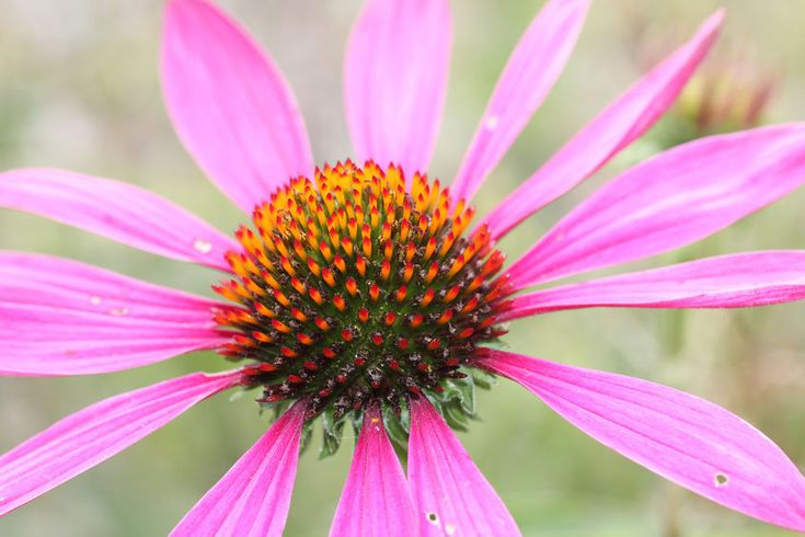 Once your immune system in weaken, any infection can threaten your body. Echinacea is a popular treatment solution for bacterial infection known as cellulitis.