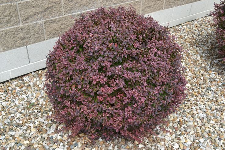 Small Purple Leaf Shrubs Crimson Pygmy Barberry Is A