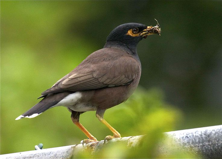 """Indian Myna (Acridotheres tristis) is a member of the family Sturnidae native to Asia. In particular, the species poses a serious threat to the ecosystems of Australia where it was named """"The Most Important Pest/Problem"""""""