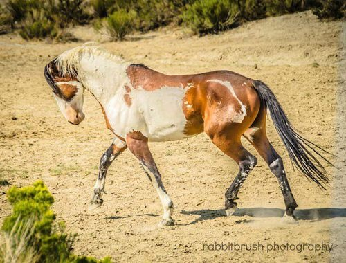 Horse ....wild mustang with interesting markings
