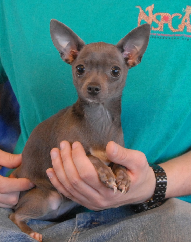 Pebbles is a tiny sweetheart debuting for adoption today at Nevada SPCA (www.nevadaspca.org).  She is a blue-grey Chihuahua, 2 years young, spayed girl, crate-trained, and good with other sweet dogs.  Pebbles lights up with enthusiasm when she sees a particular staff person who fawns over her and pampers her like a princess when he cleans her kennel and folds quilts down for her to lounge on.  Pebbles would love to find a nurturing person to call her own in a forever home.
