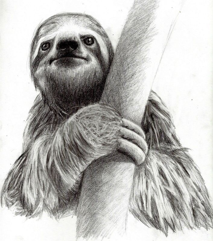 Sketch Images For Drawing: Image Result For Drawings Of A Sloth