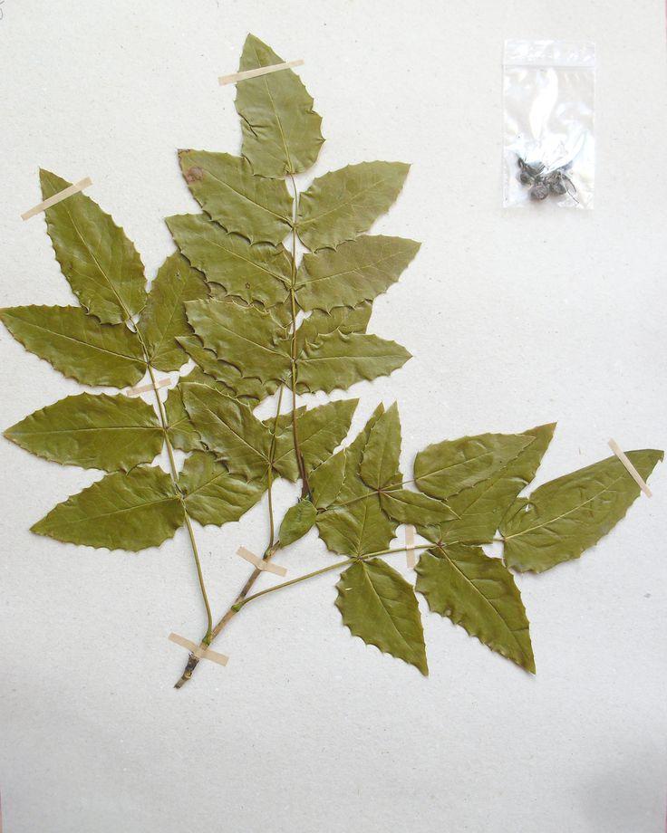 Mahonia aquifolium Berberidaceae Ranunculales