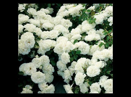 White Meidiland® | Star Roses & Plants