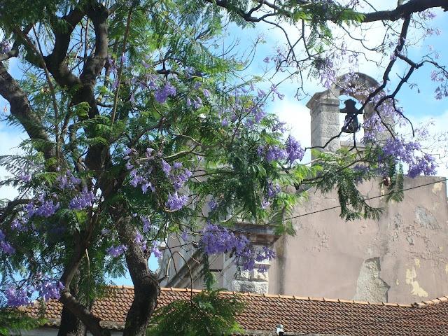 Jacaranda Bäume in Lissabon