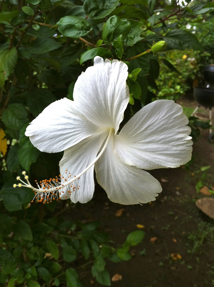 "White hibiscus, Kauai. (Photo from Hawaii Tourism Authority's ""Hawaiian Islands"" Pinterest board.)"