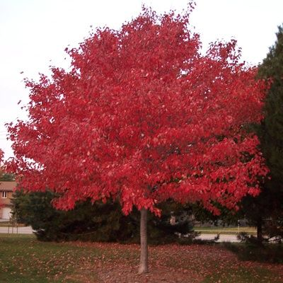 365 Best Images About Ornamental Trees On Pinterest