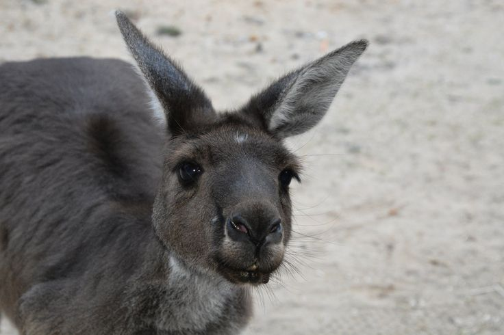 15 years ago, Jarrah's mum was hit by a car and killed. Her little 500g joey survived the crash and was rescued by a local lady who hand reared him. He's now a very senior kangaroo but he's still a big sook. He's recently decided that he's moving in with the Nannup Real Estate client manager and in return for the odd free meal, he poses for his photo to be taken. #kangaroo #wildlife #nannup #nannuprealestate #naturallynannup