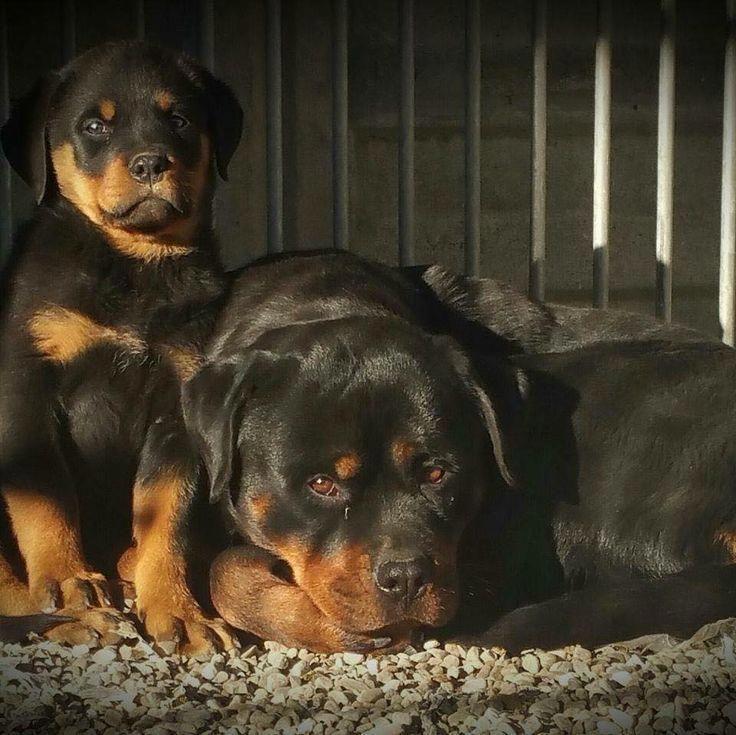 Rottweiler Rottweiler Rottweilerpups Rottweiler Dogs Dog Breeds