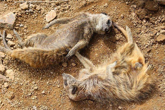 hcpsafari お正月みなさんはどう過ごされましたか? ミーアキャットたちは手を繋いで寝正月♪ #姫路セントラルパーク #ミーアキャット #himejicentralpark #meerkat Himeji Central Park 2018/01/05 18:06:34
