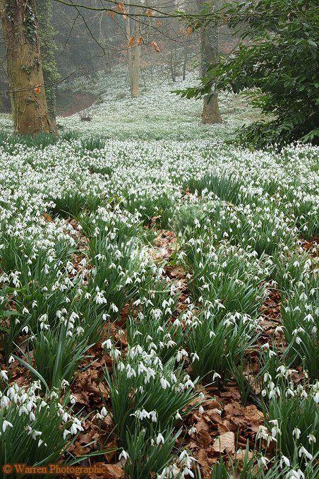 Woodland with Snowdrops  (Galanthus nivalis) of the Amaryllis family. Gloucestershire, England.