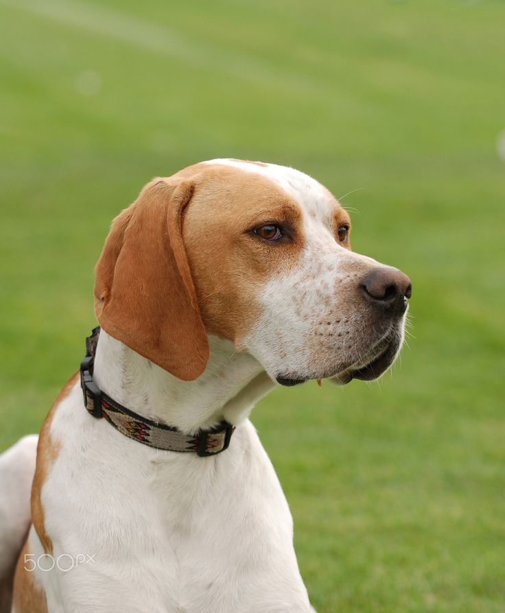 English Pointer - English Pointer dog portrait in garden