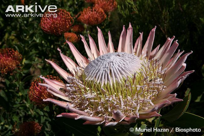 King protea videos, photos and facts - Protea cynaroides | ARKive