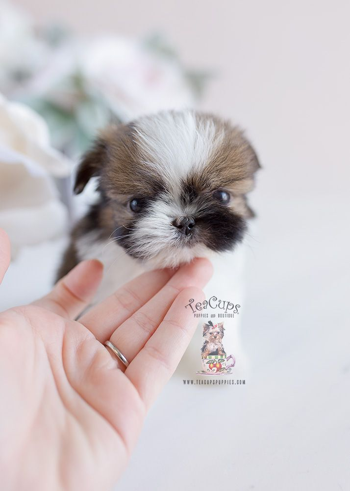 Tiny Shinese Designer Breed Puppy By Teacups Puppies And Boutique