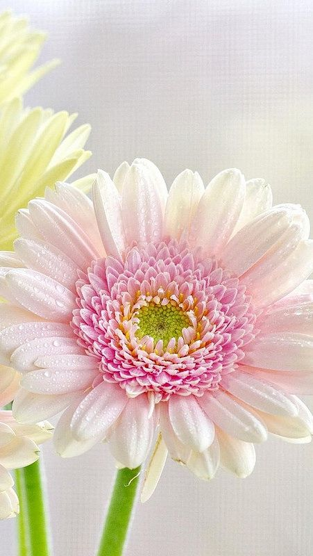 The soft, delicate colors in this Gerber daisy are beautiful.  The pale pink petals and the deep pink, yellow, and green center work together so well.  The daisy is a humble flower but is still very lovely.  This would be a great flower to paint.