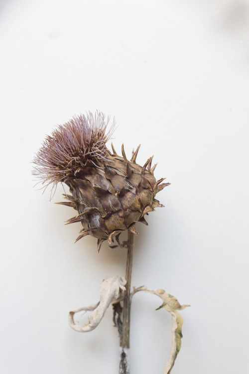 Nature Beauty, Medicinal Herbs, Thistles, Nature Artworks, Rinne Allen, Nature Beautiful, Fields Trips, Flower Photography, Cardoon Seeds