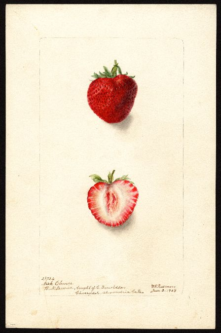 """Nick Ohmer Strawberry (1903)by Deborah Griscom Passmore (1840-1911). """"U.S. Department of Agriculture Pomological Watercolor Collecti..."""