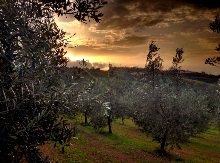 Sunset in the olives