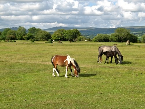 Dartmoor ponies at Yelverton