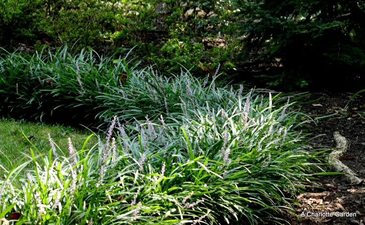 21 best liriope images on Pinterest | Monkey grass, Landscaping ...