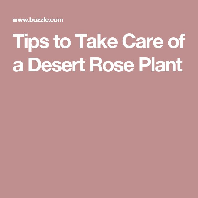 Tips to Take Care of a Desert Rose Plant