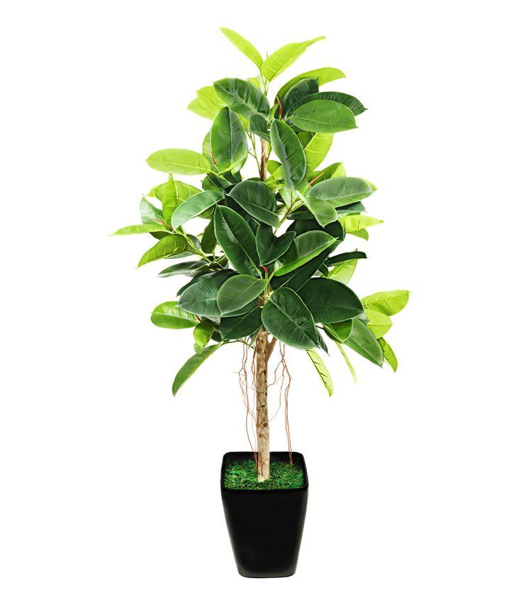 """Le caoutchouc, l'arbre immortel : Des plantes d'intérieur """"increvables"""" etfaciles à cultiver - Linternaute"""