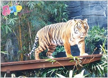 Детям о животных: Тигр