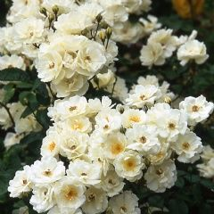 Medium sized, semi-double, creamy-white flowers, with golden stamens, produced in enormous trusses. Mahogany-coloured stems and dark green foliage. True Musk Rose fragrance