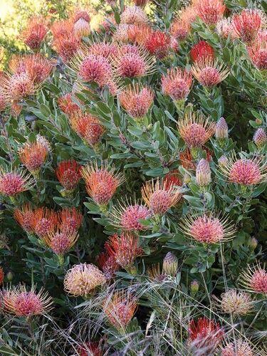 Leucospermum (Proteaceae) A magníficus drought tolerant south african bush