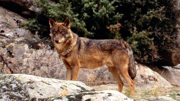 Petition · Gobierno de España: Prohibir totalmente la caza de lobos en España · Change.org