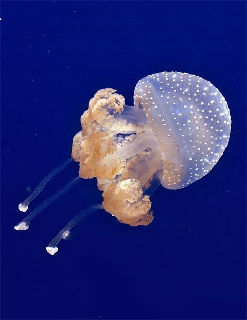Austrlian spotted jellyfish